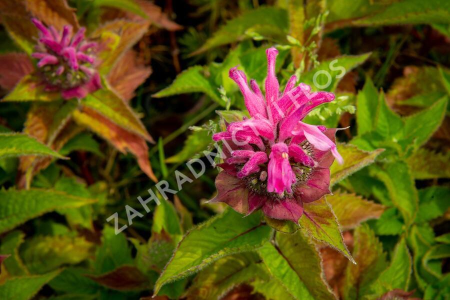 Zavinutka podvojná 'Melua Pink' - Monarda didyma 'Melua Pink'