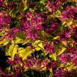 Zavinutka podvojná 'Melua Violet' - Monarda didyma 'Melua Violet'
