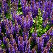 Šalvěj hajní 'Rianne' - Salvia nemorosa 'Rianne'