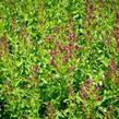Šalvěj hajní 'Schwellenburg' - Salvia nemorosa 'Schwellenburg'