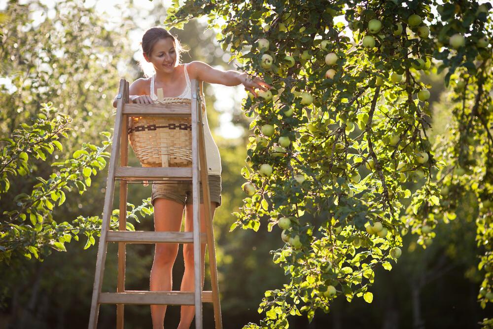 pocitovka sklizeň ovocný strom střední