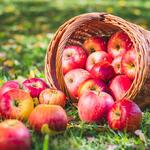 jablka čerstvě sklizeno