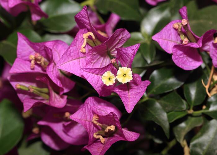 Bugenvilea lysá 'Sanderiana' - Bougainvillea glabra 'Sanderiana'