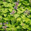 Šanta 'Little Titch' - Nepeta racemosa 'Little Titch'