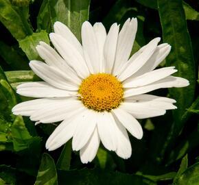 Kopretina velkokvětá 'Sweet Daisy Birdy' - Leucanthemum x superbum 'Sweet Daisy Birdy'