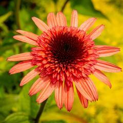 Třapatka nachová 'Firebird' - Echinacea 'Firebird'