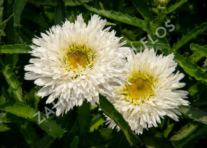 Kopretina největší 'Sante' - Leucanthemum maximum 'Sante'