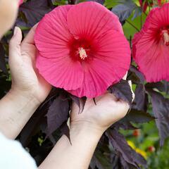 Ibišek bahenní 'Carousel Pink Passion' - Hibiscus moscheutos 'Carousel Pink Passion'