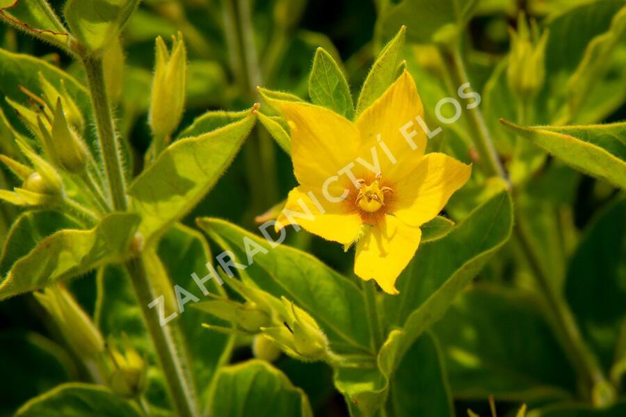 Vrbina tečkovaná 'Senior' - Lysimachia punctata 'Senior'