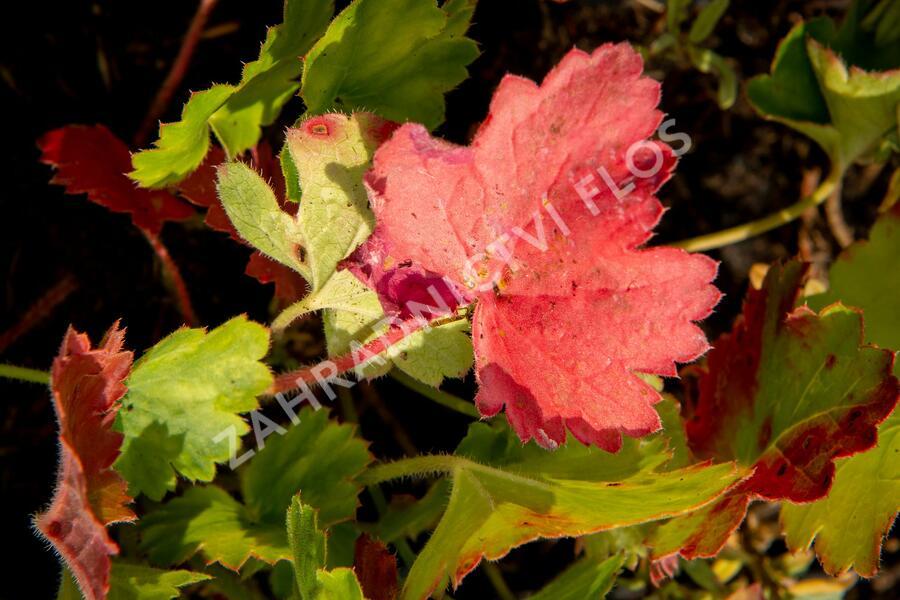 Dlužicha 'Bressingham hybrids' - Heuchera sanguinea 'Bressingham hybrids'