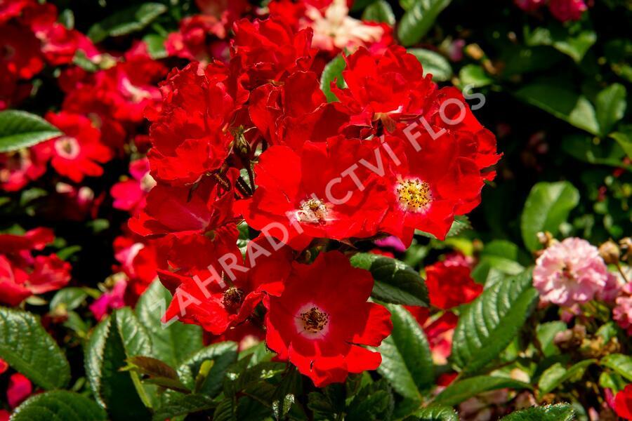 Růže mini 'Burkhardt' - Rosa MI 'Burkhardt'