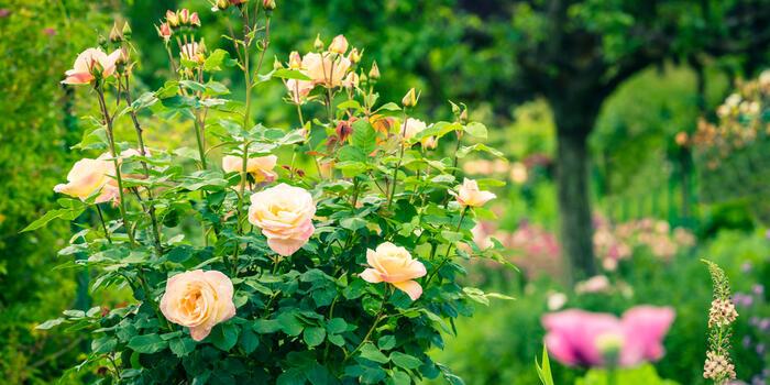 záhonové růže v zahradě (1)
