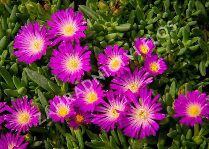 Kosmatec - Delosperma lavesii