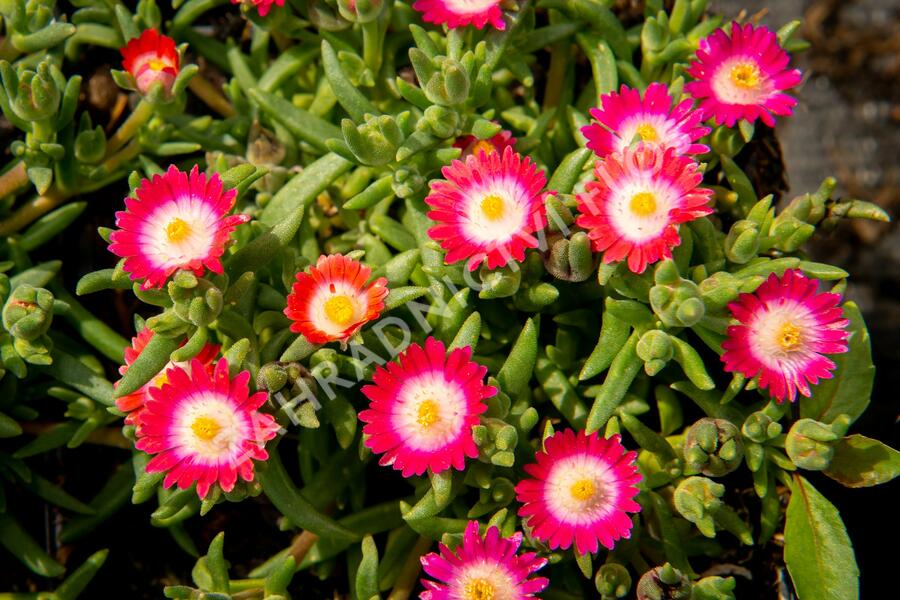 Kosmatec 'Jewel of Desert Amethyst' - Delosperma hybrida 'Jewel of Desert Amethyst'