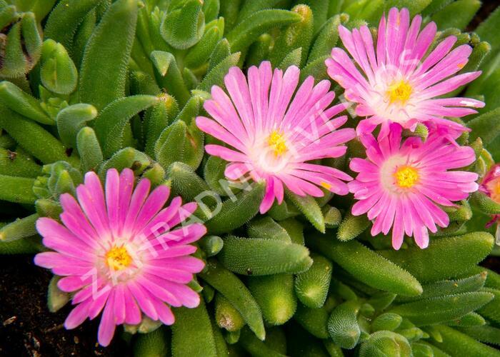 Kosmatec 'Jewel of Desert Candy Stone' - Delosperma hybrida 'Jewel of Desert Candy Stone'