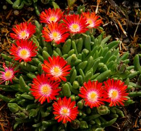 Kosmatec 'Jewel of Desert Sun Stone' - Delosperma hybrida 'Jewel of Desert Sun Stone'