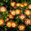Kosmatec 'Jewel of Desert Ruby' - Delosperma hybrida 'Jewel of Desert Ruby'