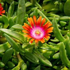 Kosmatec 'Fireglow' - Delosperma hybrida 'Fireglow'