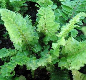 Kapradina štětinonosná 'Congestum' - Polystichum setiferum 'Congestum'