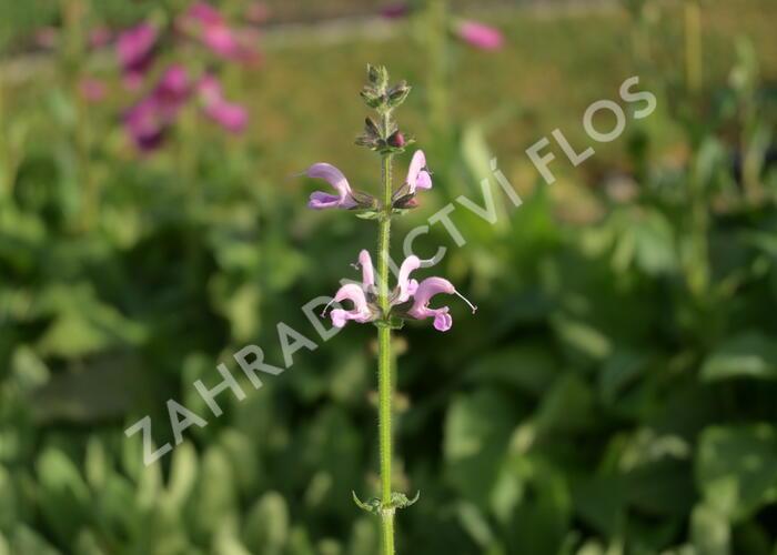 Šalvěj luční 'Eveline' - Salvia pratensis 'Eveline'
