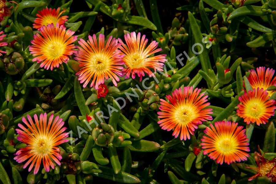 Kosmatec 'Wheels of Wonder Salmony Pink'' - Delosperma hybrida 'Wheels of Wonder Salmony Pink'
