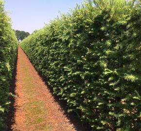 Modřín japonský - předpěstovaný živý plot - Larix Kaempferi - předpěstovaný živý plot