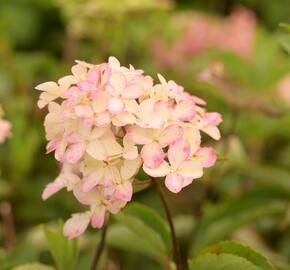 Hortenzie latnatá 'Fraise Melba' ('Renba') - Hydrangea paniculata 'Fraise Melba' ('Renba')