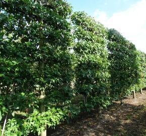 Ambroň západní 'Worplesdon' - předpěstovaný živý plot - Liquidambar styraciflua 'Worplesdon' - předpěstovaný živý plot