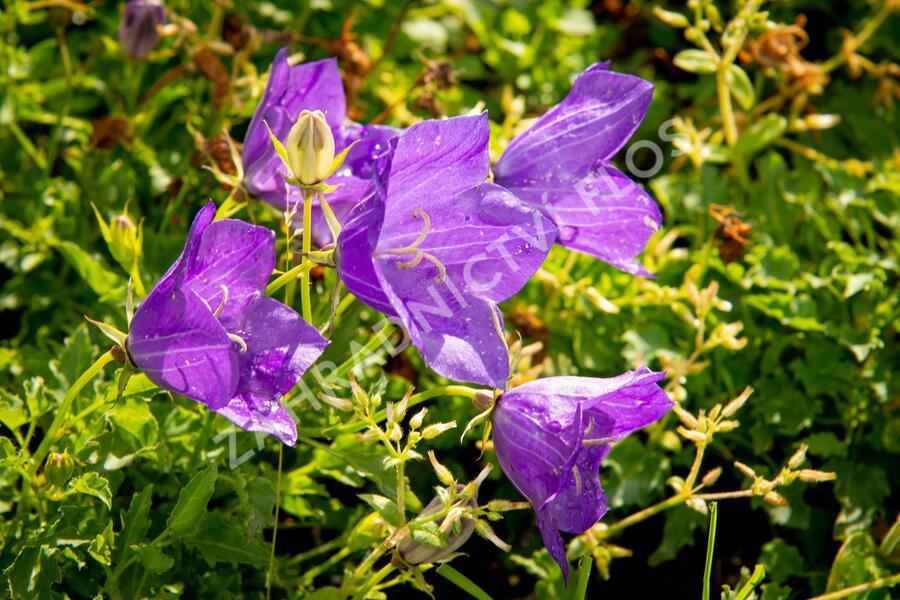 Zvonek karpatský 'Blue ' - Campanula carpatica 'Blue'