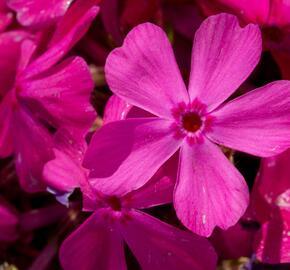 Plamenka šídlovitá 'Drummond Pink' - Phlox subulata 'Drummond Pink'