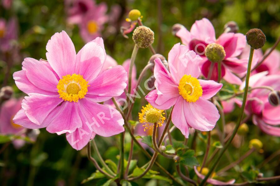 Sasanka 'Serenade' - Anemone hybrida 'Serenade'