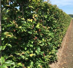 Parotie perská 'Vanessa' - Parrotia persica 'Vanessa' - předpěstovaný živý plot