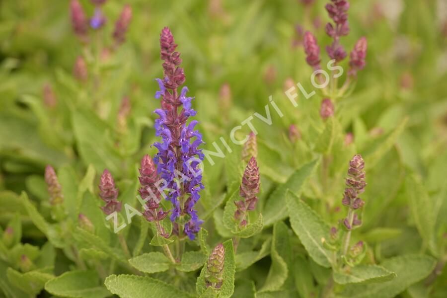 Šalvěj hajní 'Blue Bouquetta' - Salvia nemorosa 'Blue Bouquetta'