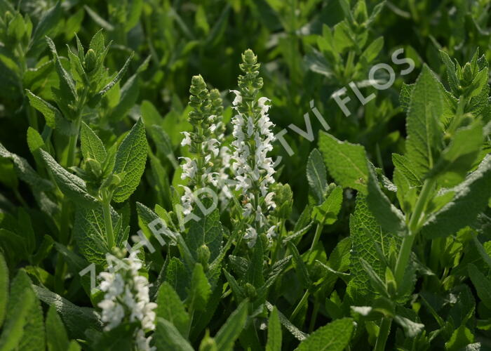 Šalvěj hajní 'Sensation White' - Salvia nemorosa 'Sensation White'