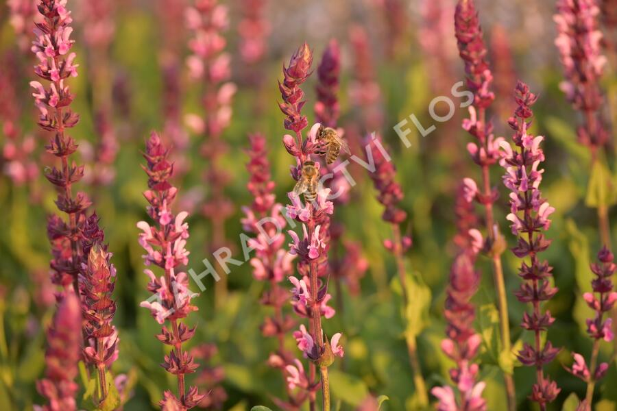 Šalvěj hajní 'Caradonna Pink' - Salvia nemorosa 'Caradonna Pink'