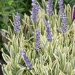 Levandule úzkolistá 'Platinum Blonde' - Lavandula angustifolia 'Platinum Blonde'
