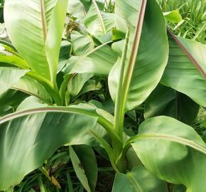 Banánovník lotosový - Musella 'Lasiocarpa'