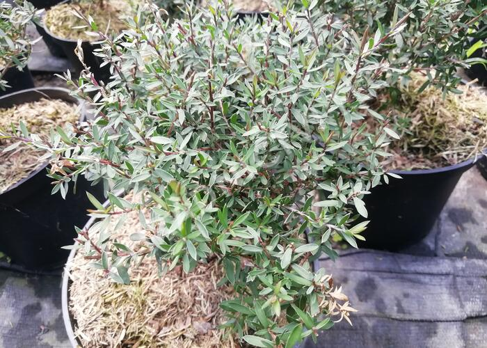 Balmín metlatý (Manuka) 'Winter Cheer' - Leptospermum scoparium 'Winter Cheer'