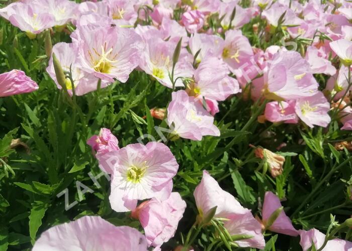Pupalka 'Siskiyou Pink' - Oenothera speciosa 'Siskiyou Pink'