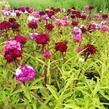 Hvozdík vousatý 'Dash Mix' - Dianthus barbatus 'Dash Mix'