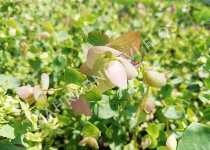 Dobromysl 'Kent Beauty' - Origanum rotundifolium 'Kent Beauty'