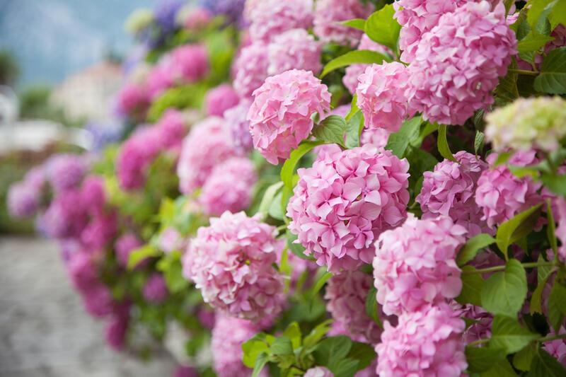 Bohatě kvetoucí hortenzie nyní pořídíte s 10% slevou!