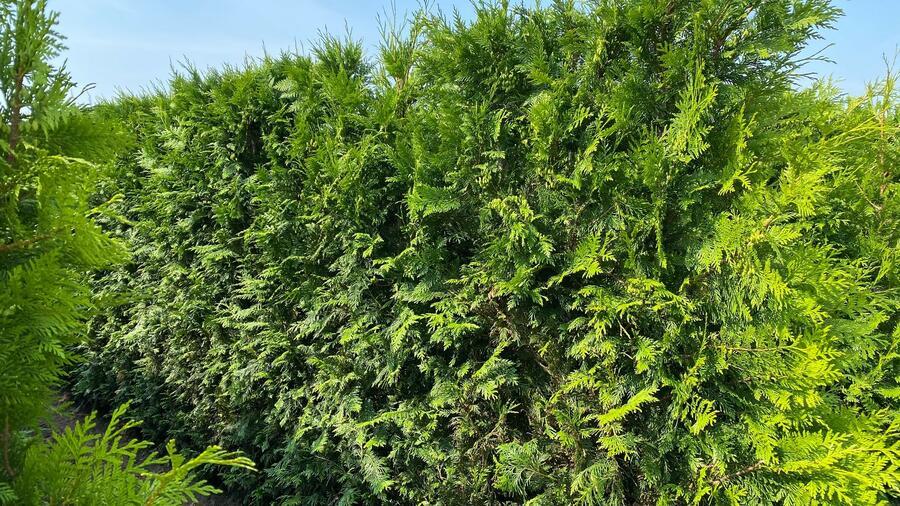 Zerav řasnatý 'Martin' - předpěstovaný živý plot - Thuja plicata 'Martin' - předpěstovaný živý plot