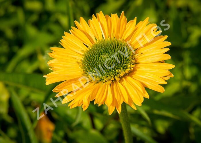 Třapatka nachová 'Meteor Yellow' - Echinacea 'Meteor Yellow'
