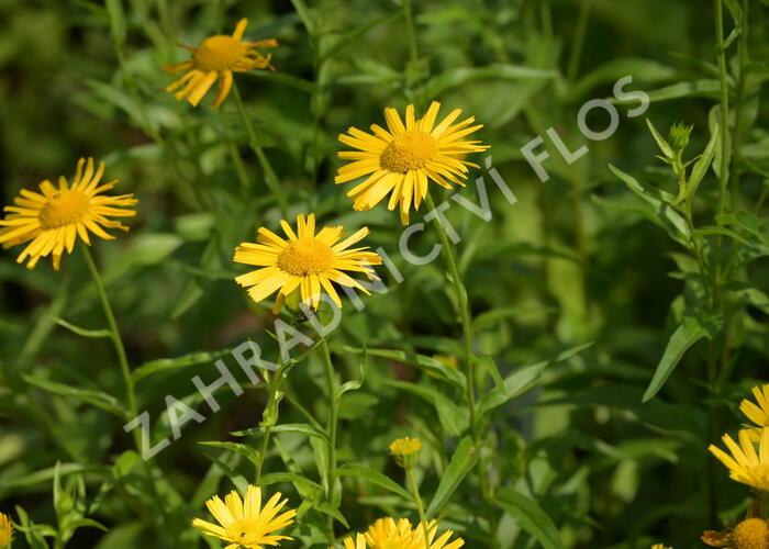 Volské oko vrbolisté - Buphthalmum salicifolium