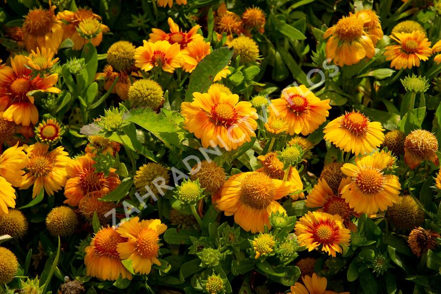 Kokarda osinatá 'Arizona Apricot' - Gaillardia aristata 'Arizona Apricot'