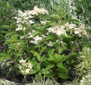 Hortenzie latnatá 'Prim White' - Hydrangea paniculata 'Prim White'
