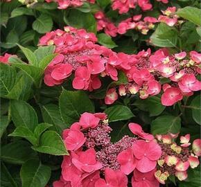 Hortenzie velkolistá Dolce 'Fragola' - Hydrangea macrophylla Dolce 'Fragola'