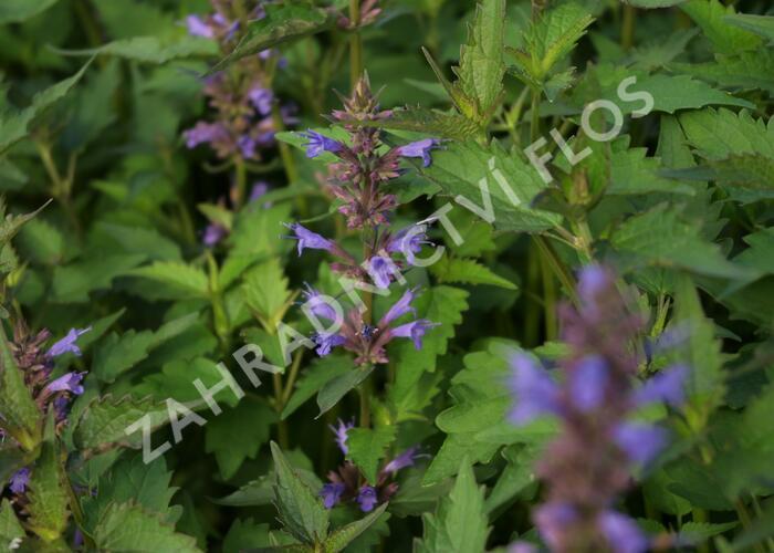 Agastache 'Purple Haze' - Agastache hybrida 'Purple Haze'