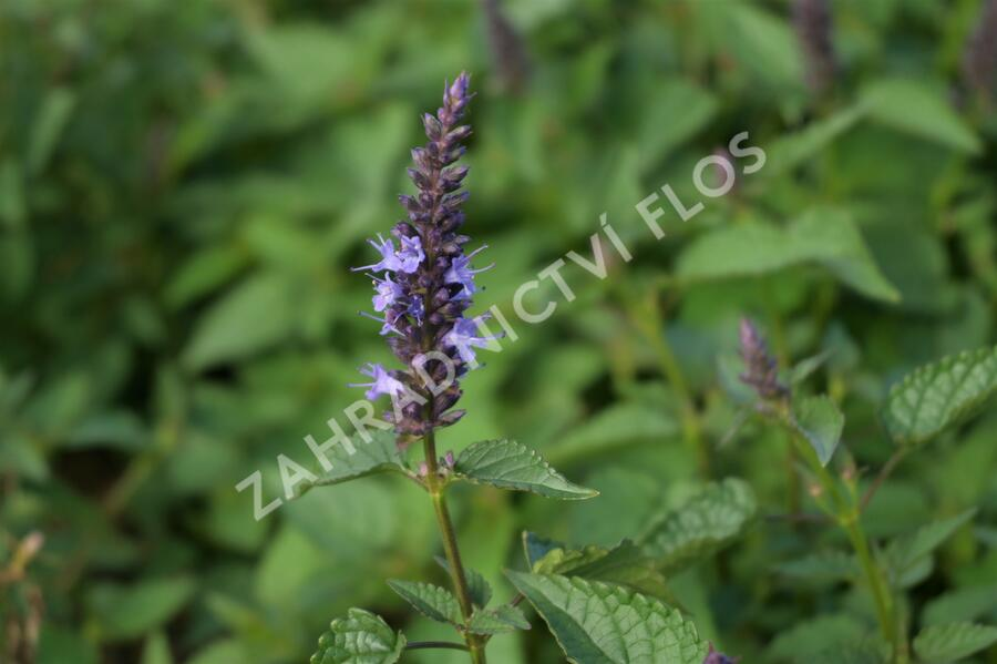 Agastache 'Little Adder' - Agastache hybrida 'Little Adder'